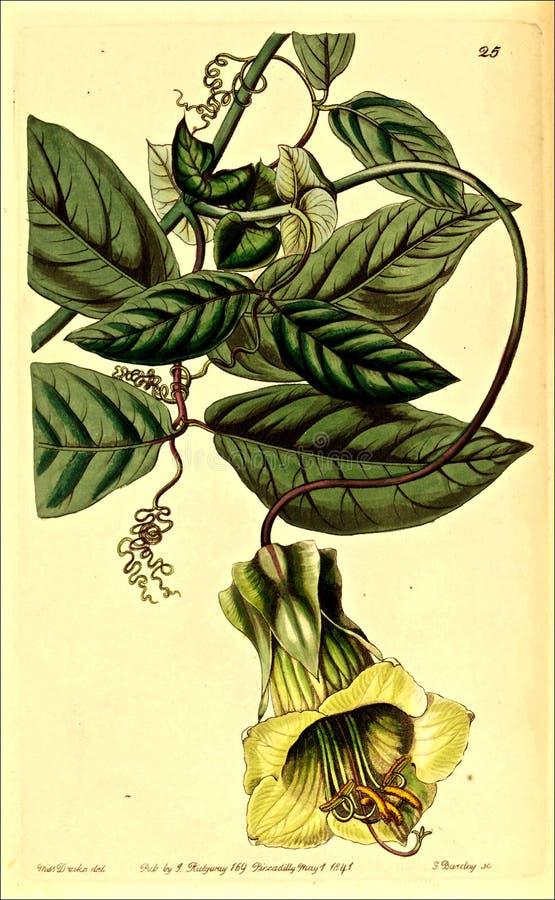 Cobaea stipularisvinranka ( 1841) arkivbild