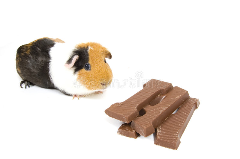 Cobaia com uma letra do chocolate imagem de stock