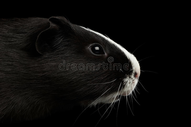 Cobaia do close-up no fundo preto isolado fotografia de stock