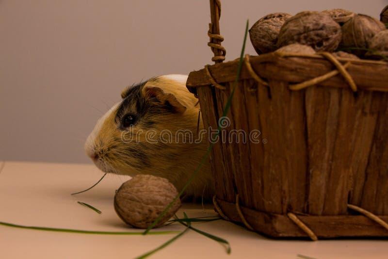 Cobaia engraçada na cesta com nozes fotografia de stock royalty free