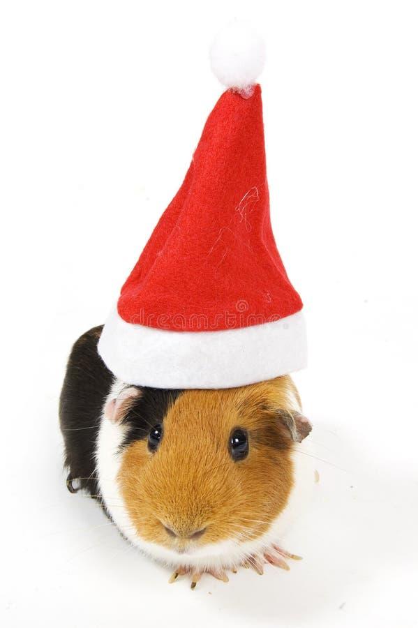 Cobaia que desgasta um chapéu do Natal imagens de stock royalty free