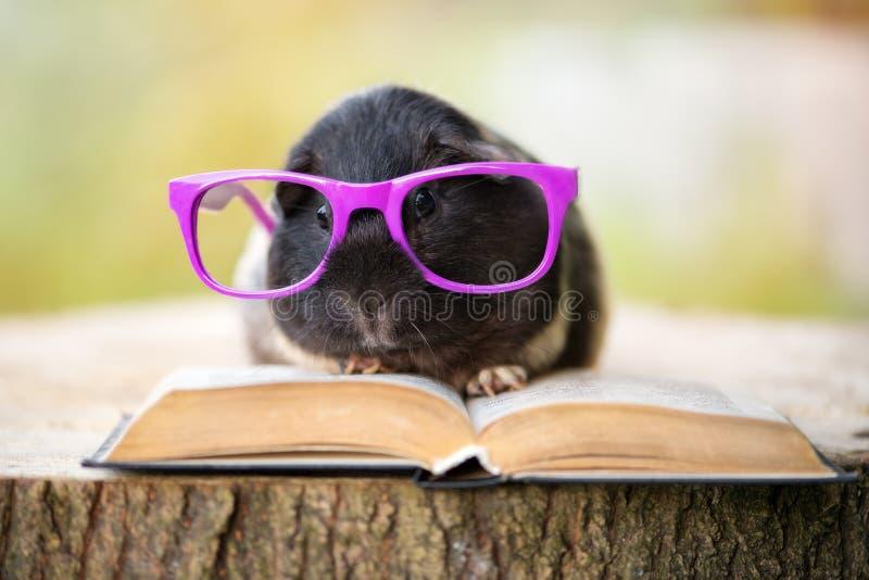 Cobaye adorable en verres avec un livre photographie stock