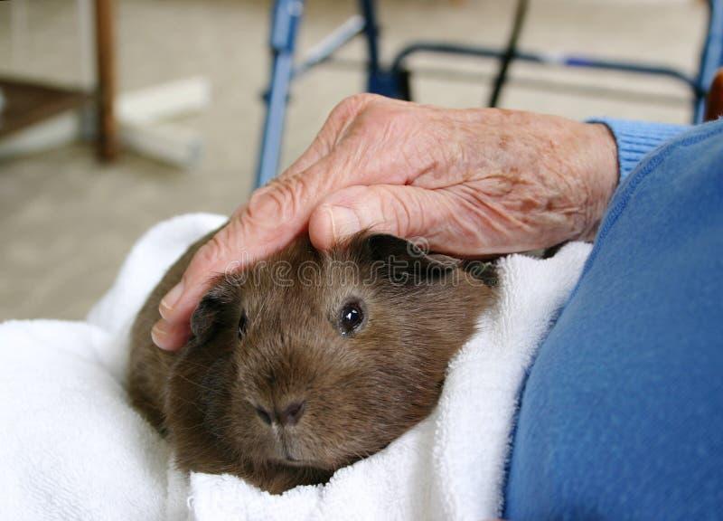 Cobaye de thérapie d'animal familier images stock