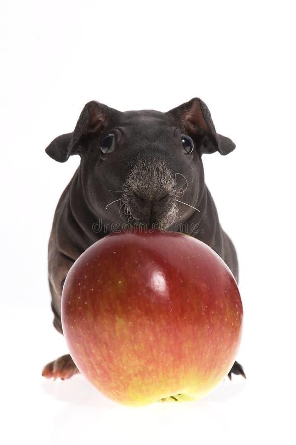 Cobaye maigre avec la pomme image stock