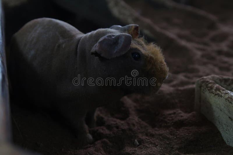 Cobayes chauves ou porc maigre photographie stock