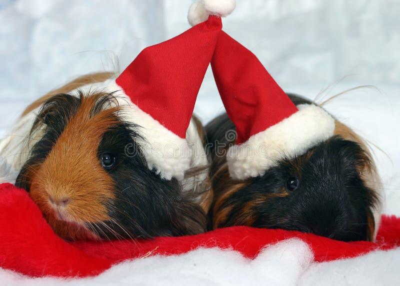 Cobayes dans des chapeaux de Santa images stock
