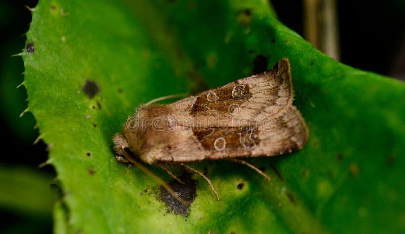 Cobberfly stockbilder