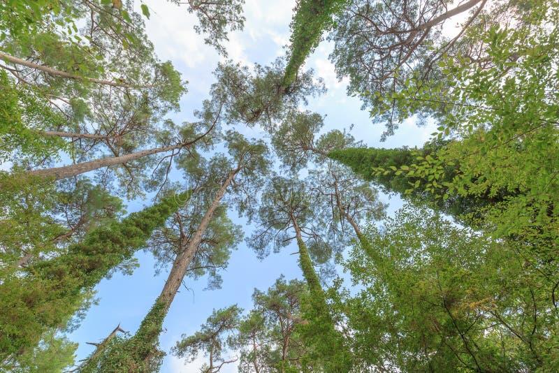 Coberto de vegetação com o arbusto, troncos altos dos pinheiros no fundo do céu azul fotografia de stock royalty free