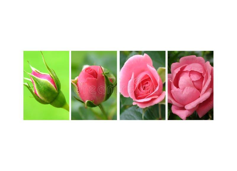 Cobertura das rosas fotos de stock