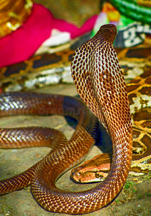 Cobra à lunettes, Pashupatinath, Népal image stock