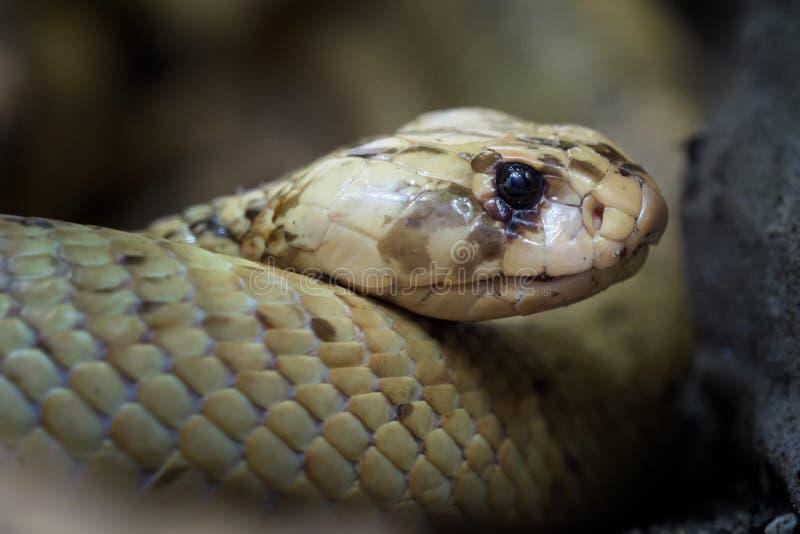 Cobra ακρωτηρίων σε στάση στοκ φωτογραφίες