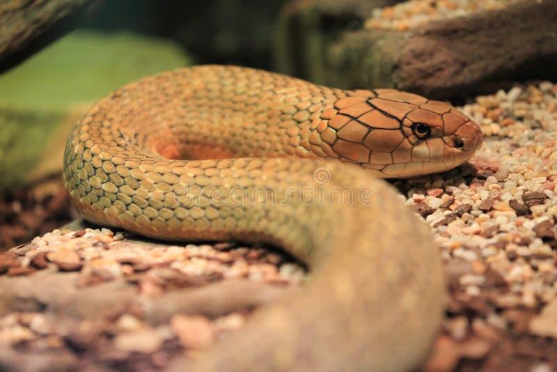 Cobra βασιλιάδων στοκ φωτογραφίες
