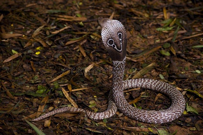 cobra Ινδός στοκ φωτογραφία