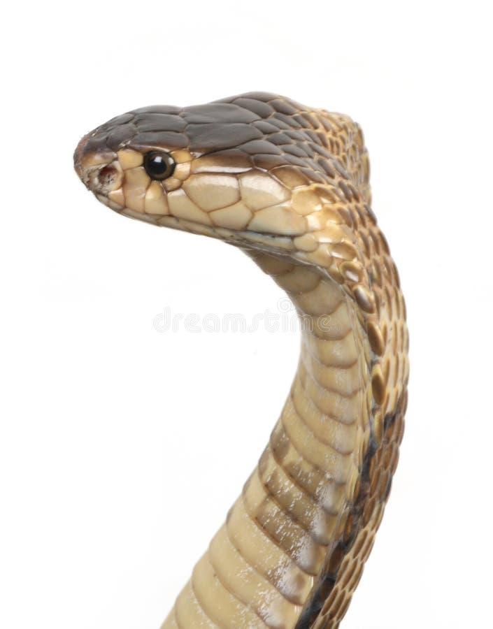 Cobra. A hooded cobra in strike position stock photos