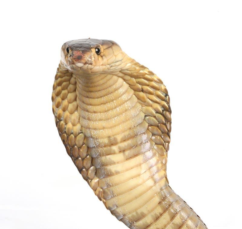 cobra στοκ εικόνα