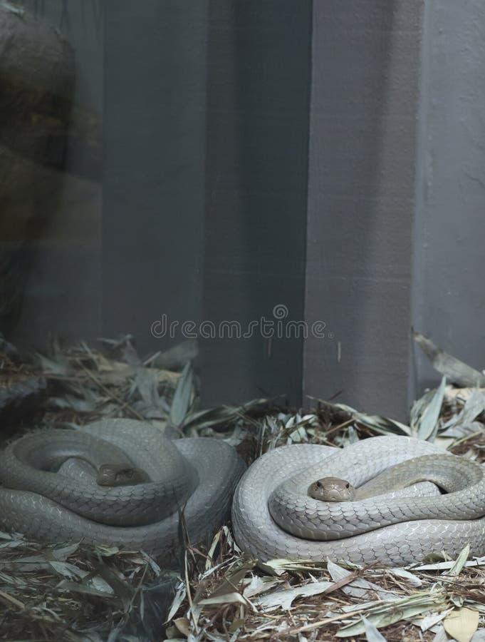 cobra royalty-vrije stock foto's