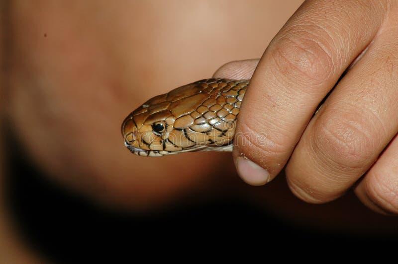 Download Cobra stock photo. Image of nature, skin, species, farm - 892214