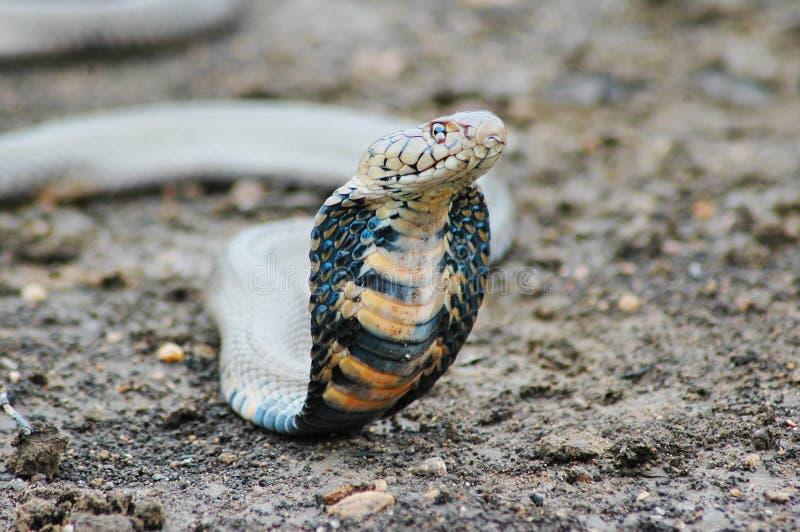 Cobra fotografie stock libere da diritti