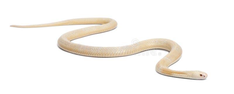 Cobra con monóculo de los albinos - kaouthia del Naja (venenoso) imagenes de archivo