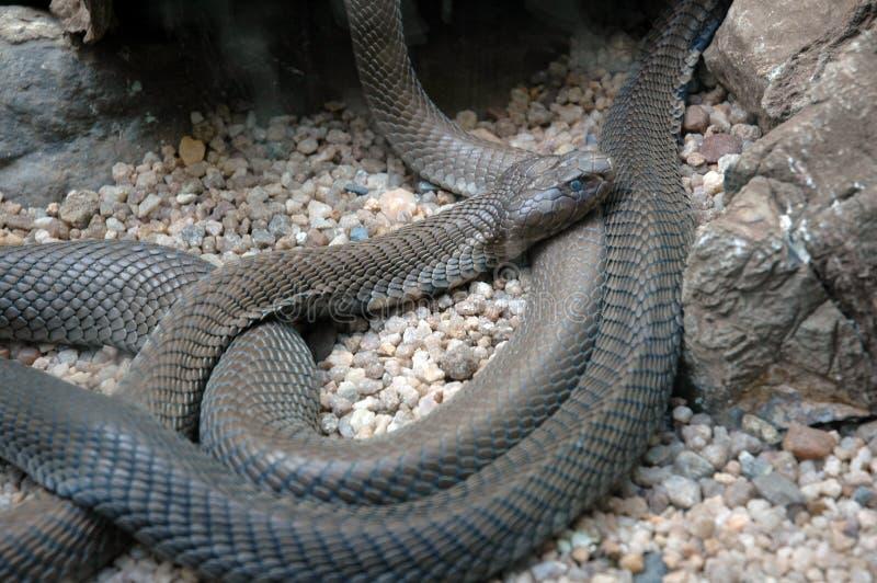 Cobra De Crachement De La Mozambique. Photo libre de droits