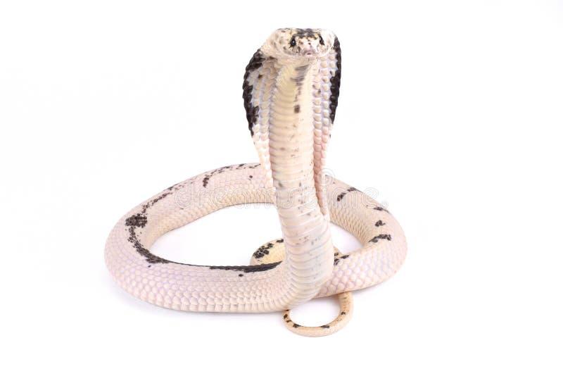 Cobra de expectoración indochina, siamensis del Naja fotos de archivo