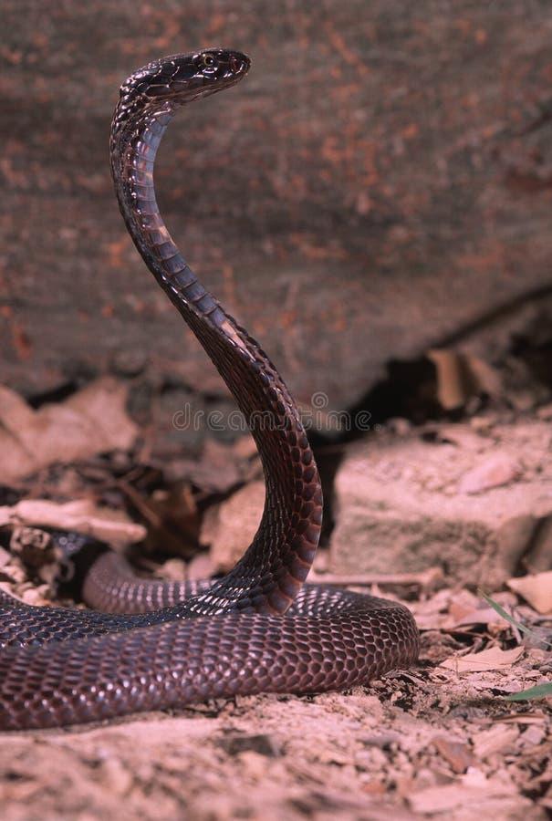 Cobra de Pakastani image stock