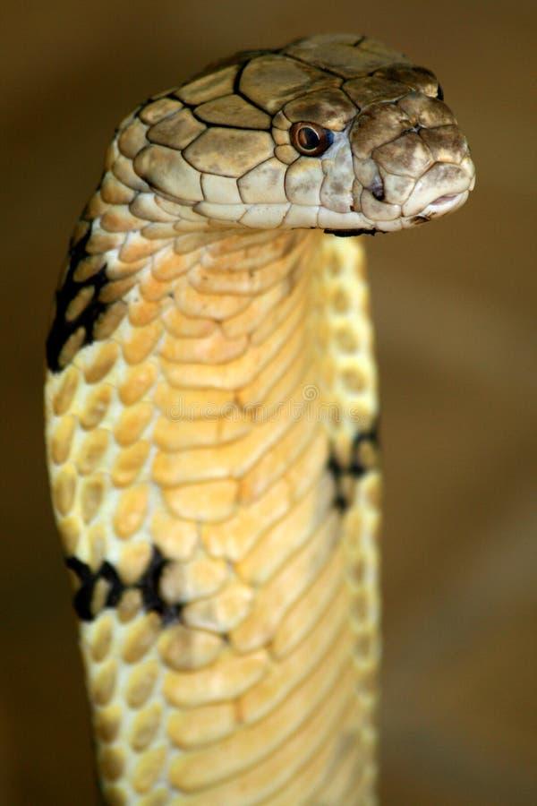 Cobra de rei fotografia de stock royalty free