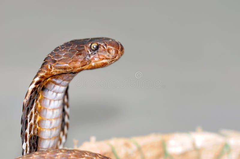 Cobra de rei imagens de stock