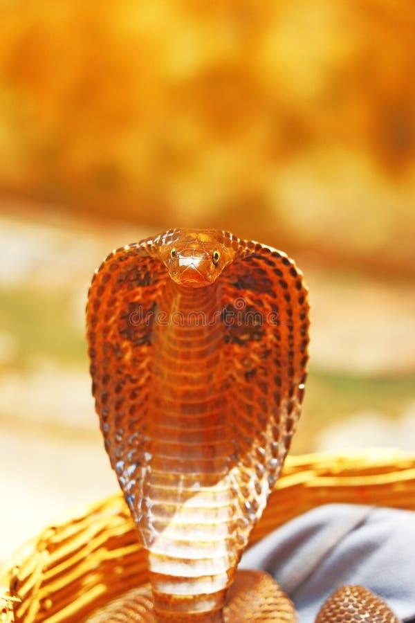 Cobra de rei na cesta india imagem de stock royalty free