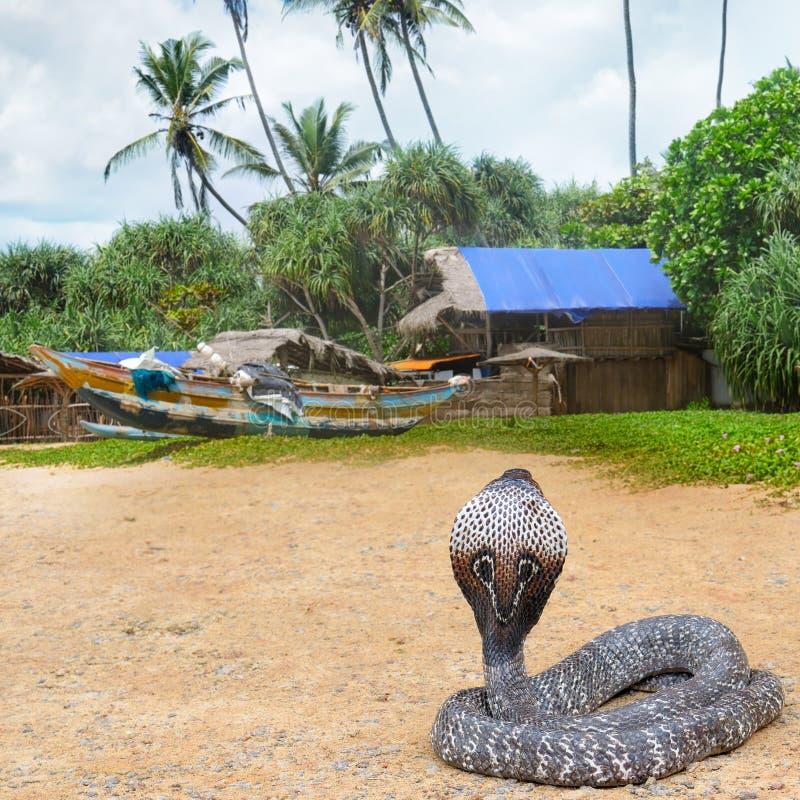 Cobra de rei na natureza selvagem imagens de stock royalty free