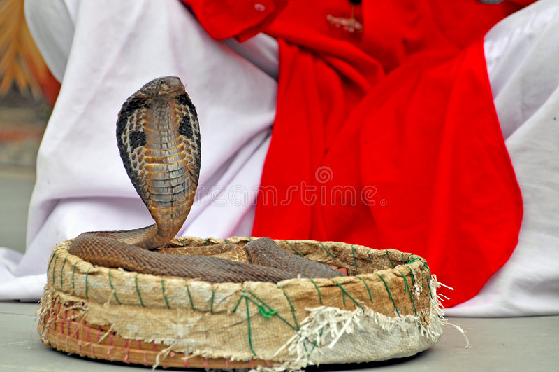 Cobra de rey imágenes de archivo libres de regalías