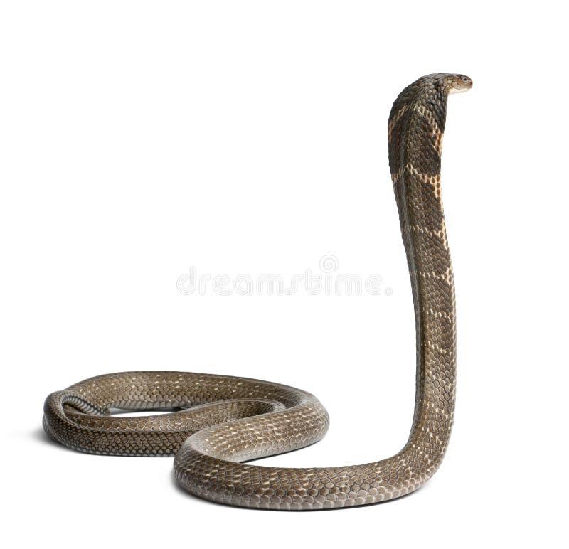 Cobra de rey - Ophiophagus Hannah foto de archivo