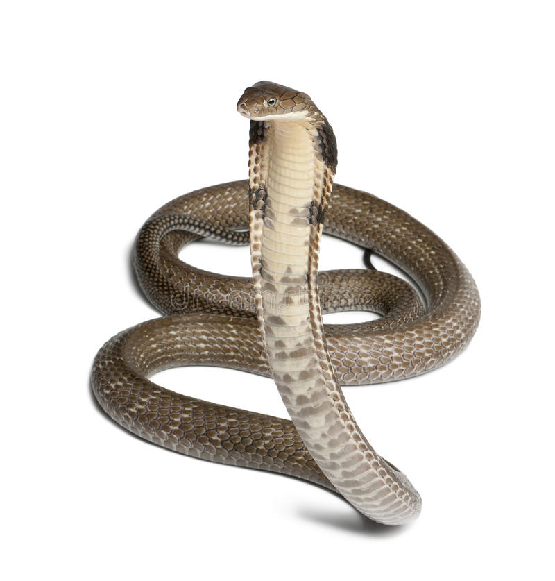 Cobra de rey - Ophiophagus Hannah imagen de archivo