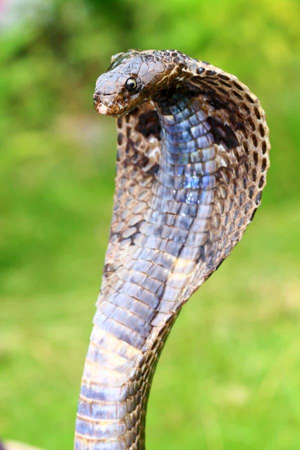 Cobra de roi photo stock
