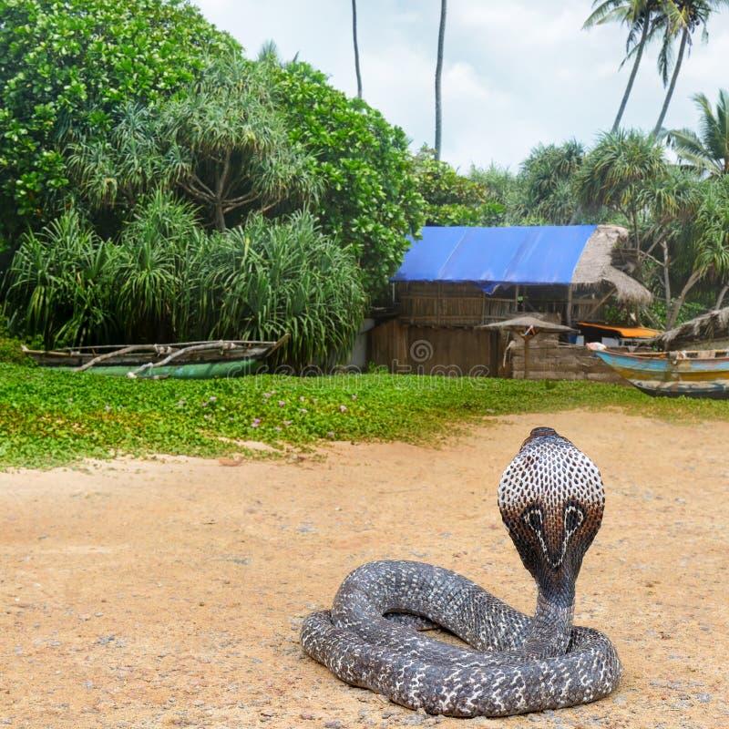 Cobra de roi dans la nature sauvage images libres de droits