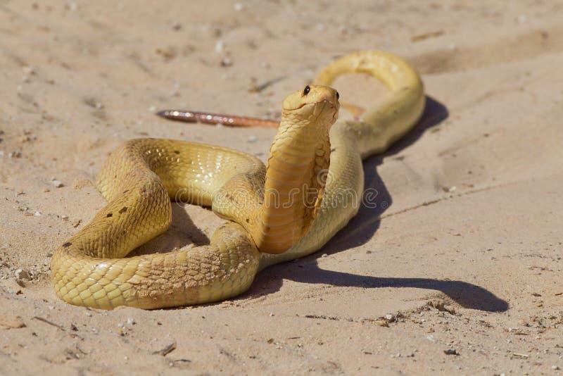 Cobra del capo fotografie stock