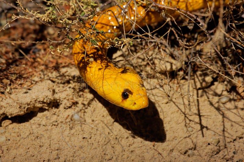 Cobra del capo fotografia stock