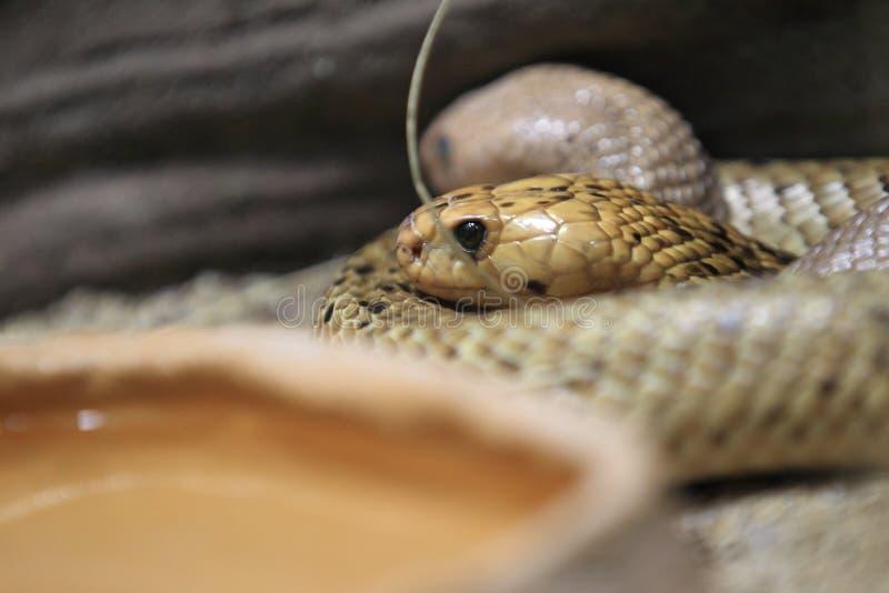 Cobra do cabo foto de stock