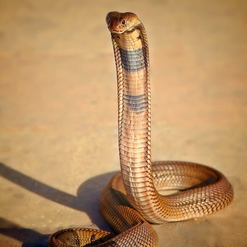 Cobra egiziana fotografia stock libera da diritti