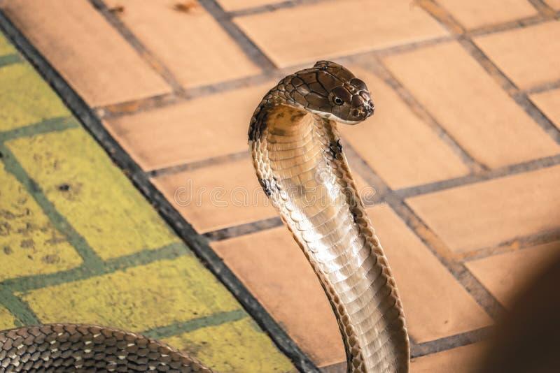 A cobra espalhou a capa foto de stock royalty free