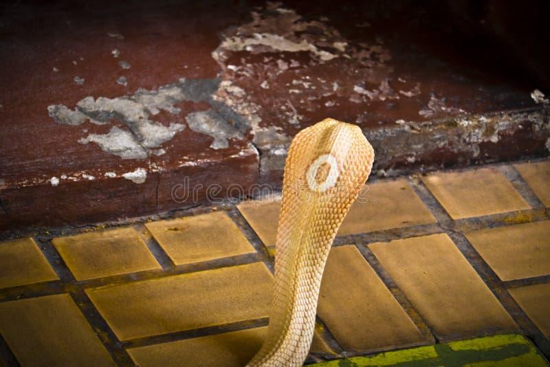 A cobra espalhou a capa fotografia de stock