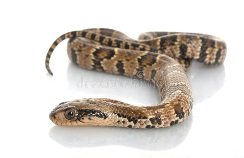 Cobra falsa da água imagens de stock royalty free