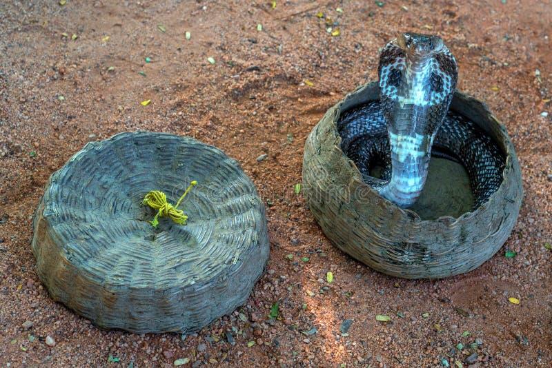 Cobra in a hamper. Dancing indian cobra in a hamper of snake charmer stock photo