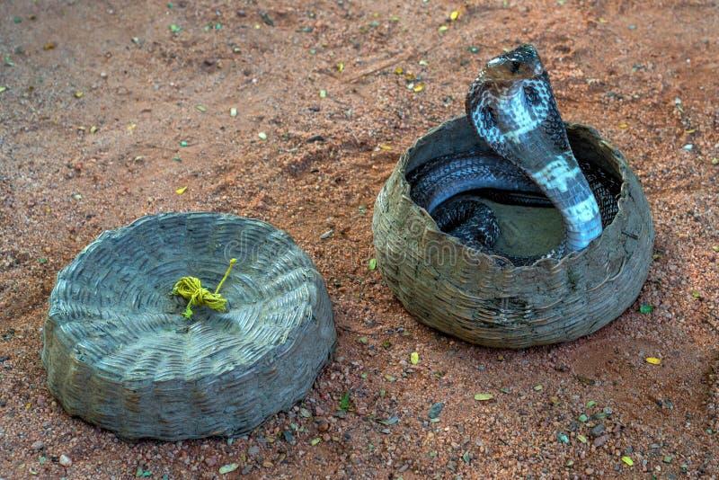 Cobra in a hamper. Dancing indian cobra in a hamper of snake charmer royalty free stock photo