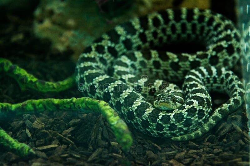 Cobra Hognose Ocidental na selva imagem de stock royalty free