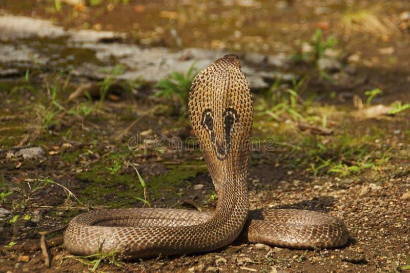 A cobra indiana, o naja do Naja, igualmente conhecido como a naja, a cobra asiática ou a cobra de Binocellate, Índia fotos de stock