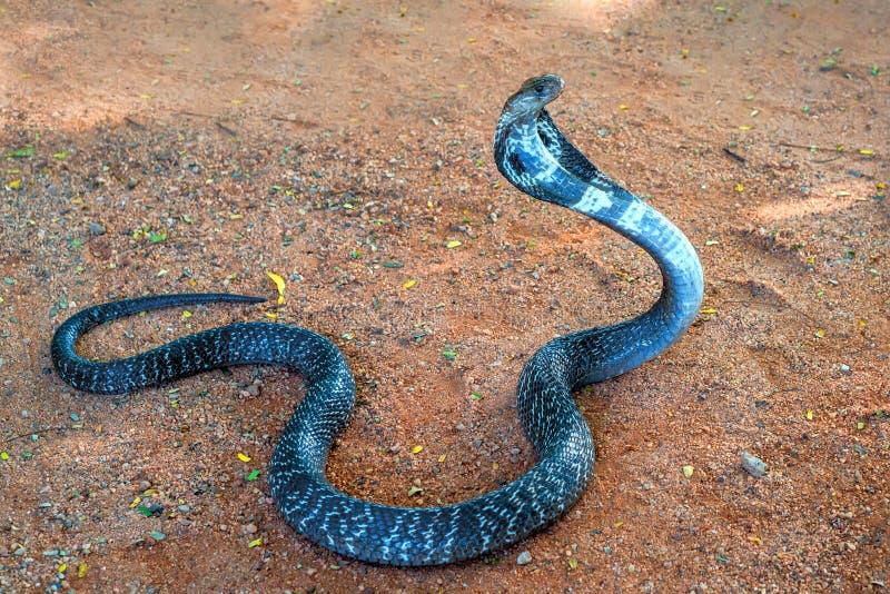 Cobra indiana selvaggia su terra fotografie stock libere da diritti