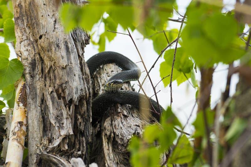 Cobra jaz num trapo fotografia de stock royalty free