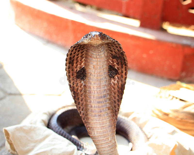 Cobra klaar te slaan royalty-vrije stock foto's