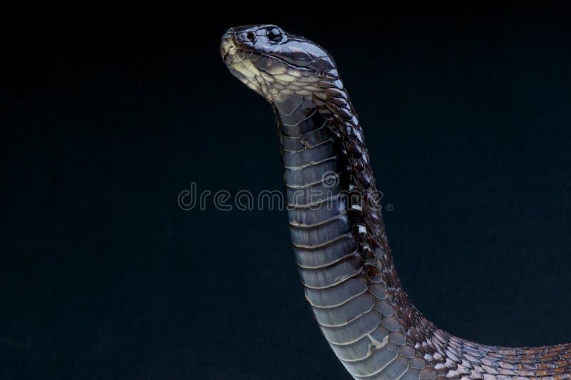 Download Cobra / Naja legionis stock image. Image of venomous - 31574235